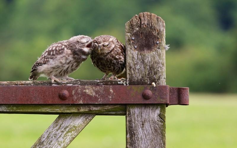 pticy-sovy-razgovor-priroda-2436