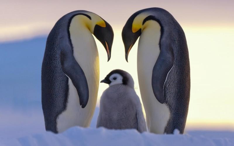 sever-pingviny-semia-sneg