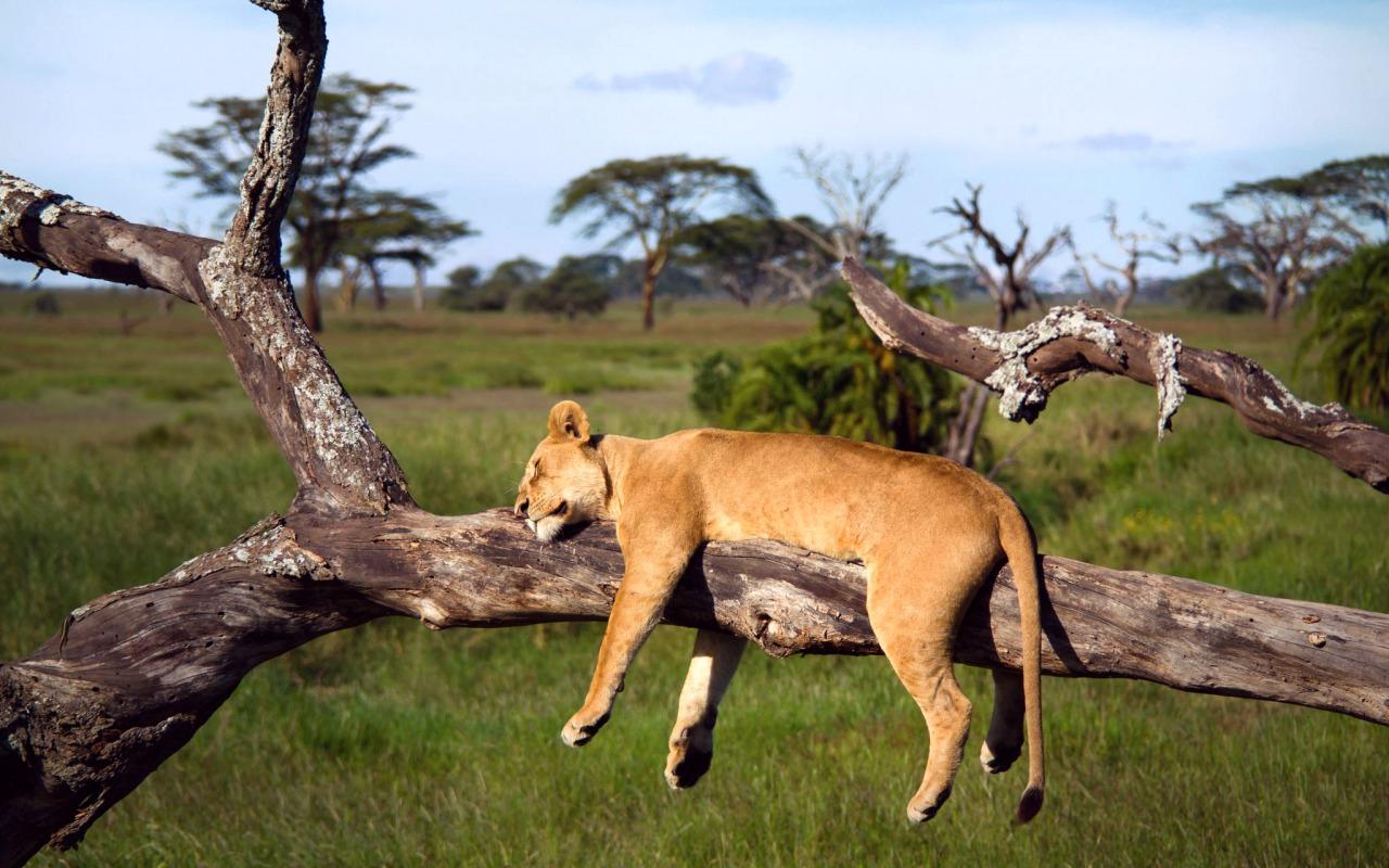 afrika-tanzaniya-serengeti-lev