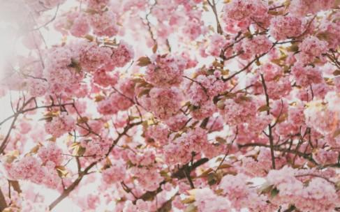 Сакура: волшебное цветение вишни в Японии