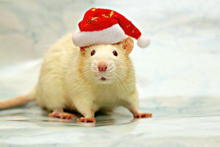 Год Белой Крысы: что важно знать о его символе?