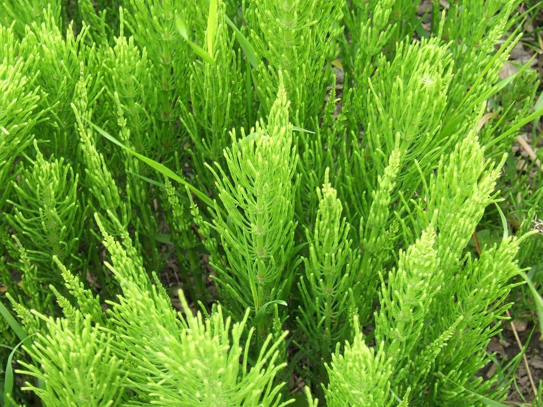 Equisetum_arvense_foliage