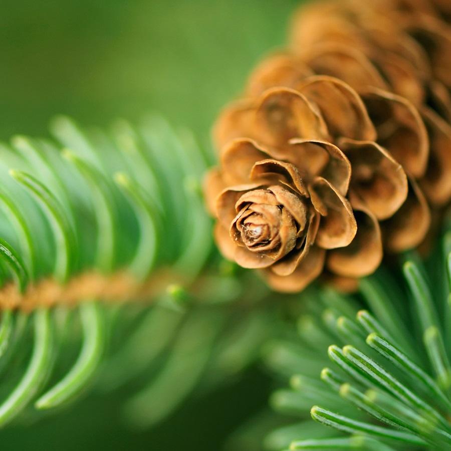 10337-Balsam-Cedar