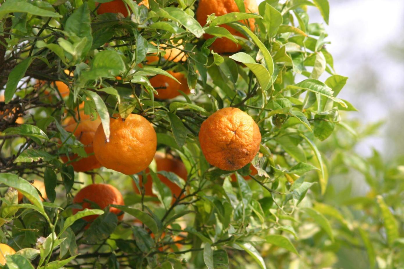 Экстракт плодов померанца для похудения