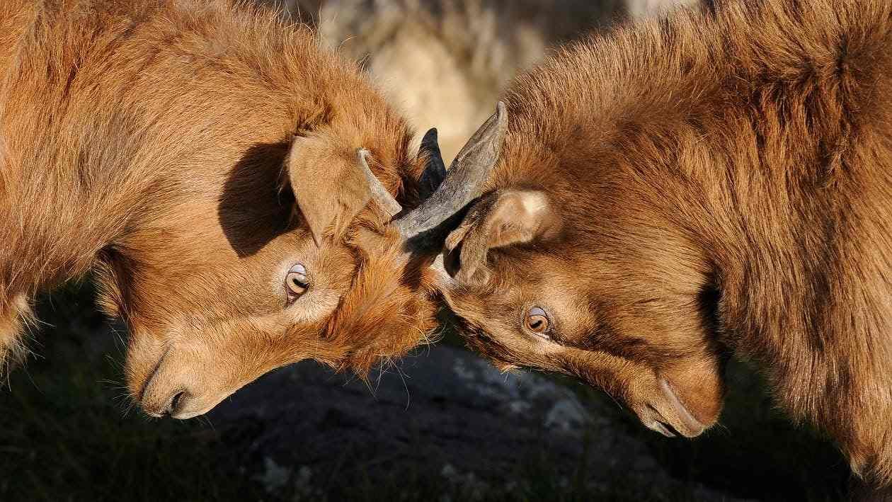 goats-competition-dispute-ssor